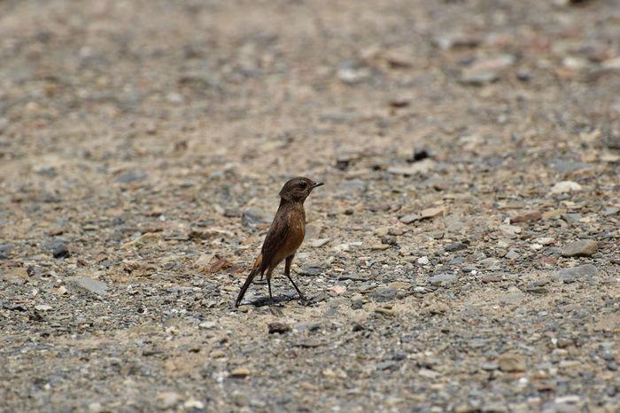 Bird Like Sparrow Bird On Ground Bird With Insect In Mouth Birds In Nature Birds Photography Indian Birds Small Bird Tiny Bird