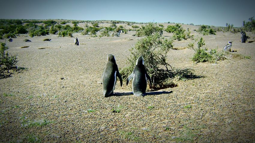 Pinguins  Pinguin Couple Nature Puerto Madryn Patagonia First Eyeem Photo Beautiful Tranquility Naturelovers Beauty In Nature Pingüino Pingüinos