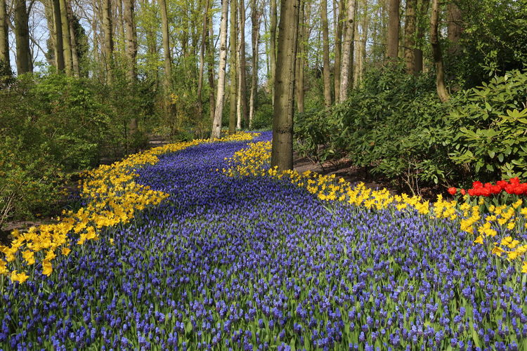 Beauty In Nature Flower Flower Carpet Forest Growth In Bloom Keukenhof Nature Outdoors Springtime Tourism Tree Vacations WoodLand