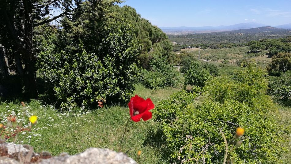 Growth Red Nature Beauty In Nature Plant Field Flower Tree Green Color Outdoors Poppy Day No People Shadow Freshness Fragility Flower Head Sky The Great Outdoors - 2017 EyeEm Awards Live For The Story
