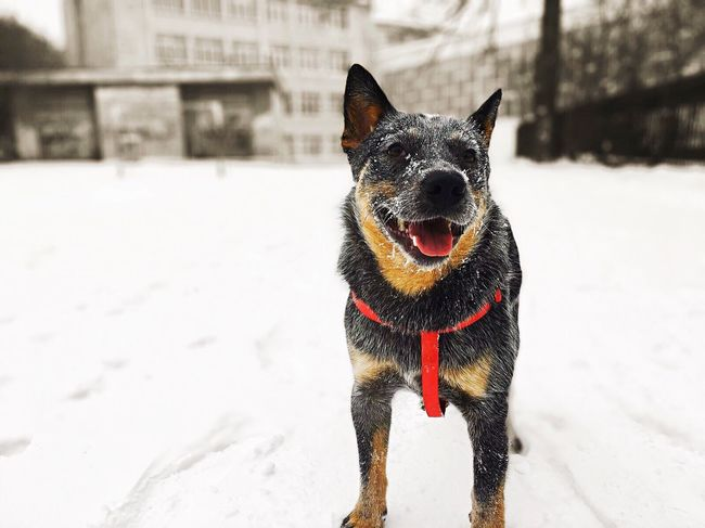 One Animal Dog Animal Themes Mammal Pets Snow Domestic Animals Winter Cold Temperature No People Portrait Day Nature Outdoors Cattle Dog Blue Dog ACD  Australian Cattle Dog Blue Heeler Australiancattledog Heeler Focus On Foreground Cattledog