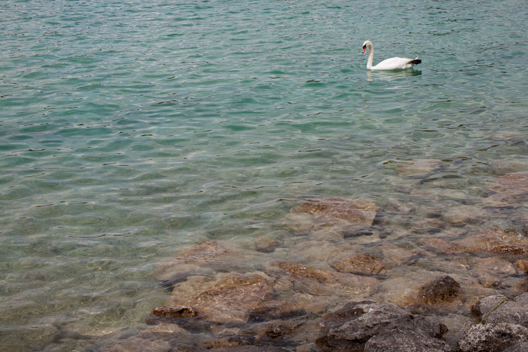 Attersee Steine Stones In Water See Clear Water Lake Attersee Swan Bird Swimming Water Water Bird Lake High Angle View
