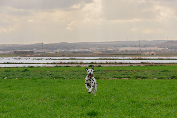 Dalmatian dog posing and playing in the field