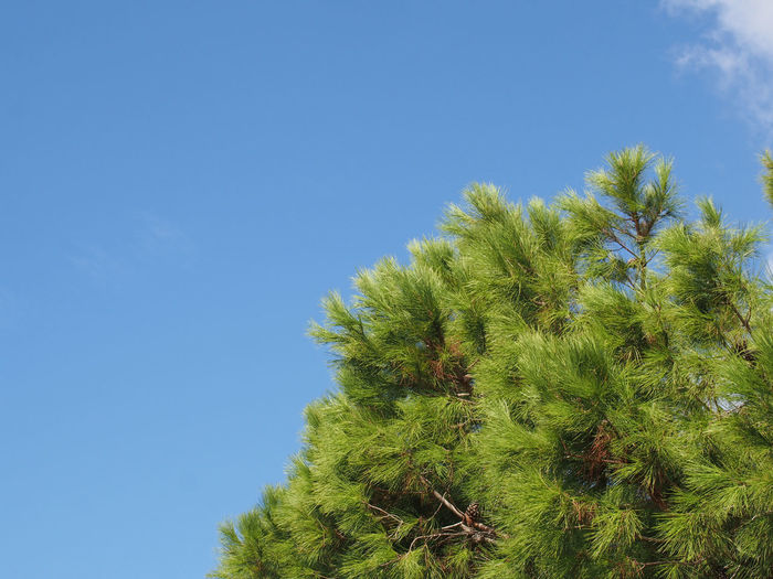 close up of a bright green vibrant tropical pine tree top against a bright blue summer sunlit sky Tree Top Sky Pine Tree Backgrounds Tree Green Color Copy Space Clear Sky Blue Nature Tranquility Scenics - Nature Sunlight Coniferous Tree Spiky Beauty In Nature