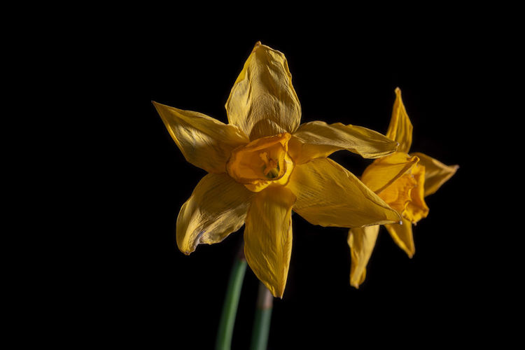 Close-up of yellow daffodil against black background