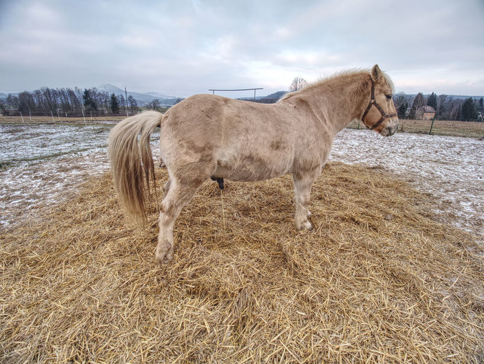 Male isabella horse stay on dry straw area in muddy spring field.