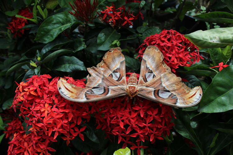Close-up of moth on ixora at park