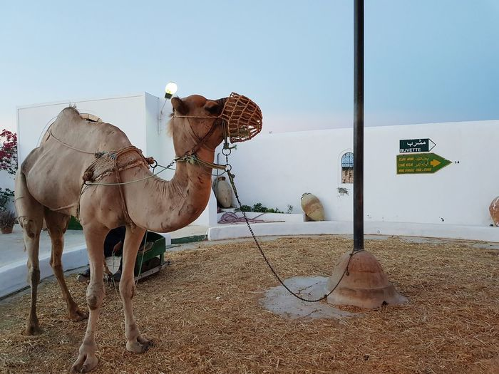 EyeEm Selects Sand Desert Outdoors Day Travel Destinations No People Sky Nature Animal Themes Mammal Camels Djerba  Guellala Museum Museum Sunset Djerba, Tunisia Camel Djerba  Architecture History Beauty Island