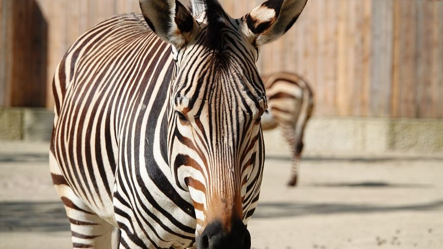 Animal Looking At Camera Equus EyeEm Selects Animal Themes Animal Mammal Animal Wildlife Focus On Foreground One Animal Animals In The Wild Striped Zebra Herbivorous Vertebrate Animals In Captivity Sunlight Close-up Safari Zoo Day No People Outdoors