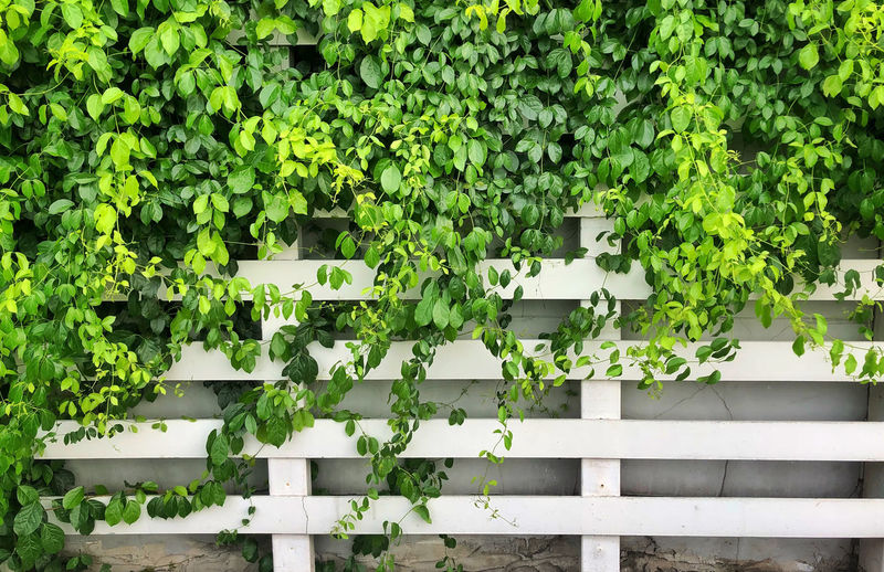 Architecture Barrier Beauty In Nature Boundary Built Structure Day Fence Freshness Green Color Growth Hedge Ivy Leaf Nature No People Outdoors Plant Plant Part Railing White Color Wood - Material