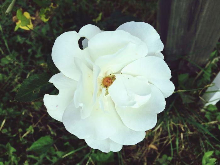 Rosé Roses