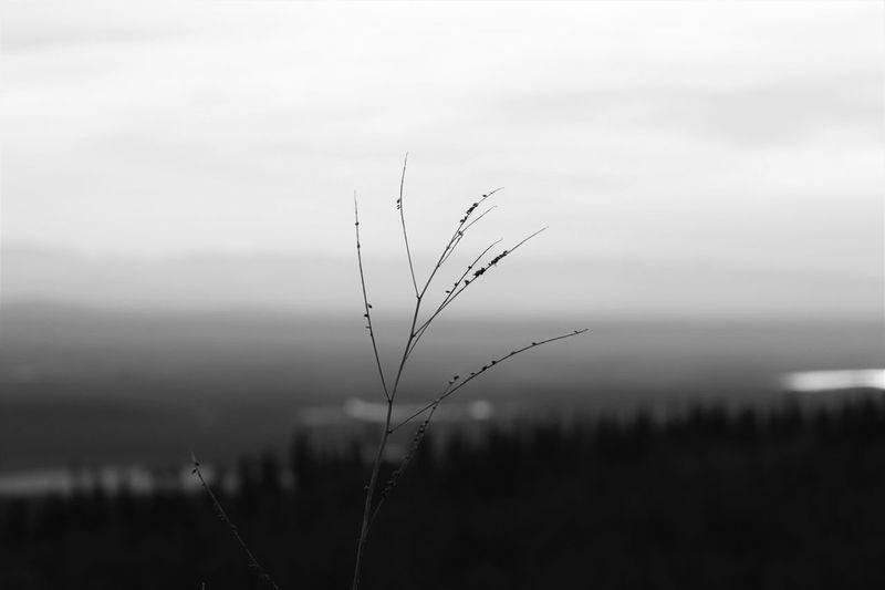 Alaska View Lone Branch Fall Beauty Blackandwhite