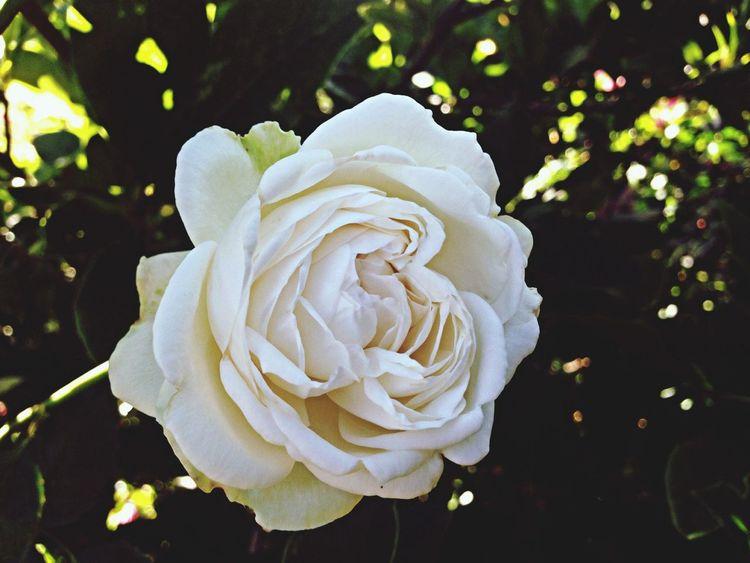 Fair Bianca-David Austin Rose-My All Time Favorite Rose-taken tonight 14may-from my garden-redleft.weebly.com Roses White Fair Bianca