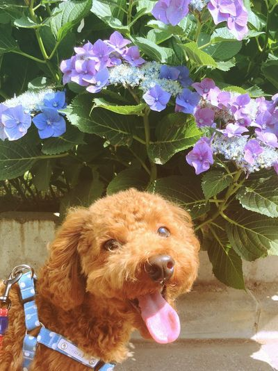 Dog Pets Flower One Animal Day Leaf Nature Tokyo,Japan チロル Daily Life Toypoodl Japanese Hydrangea