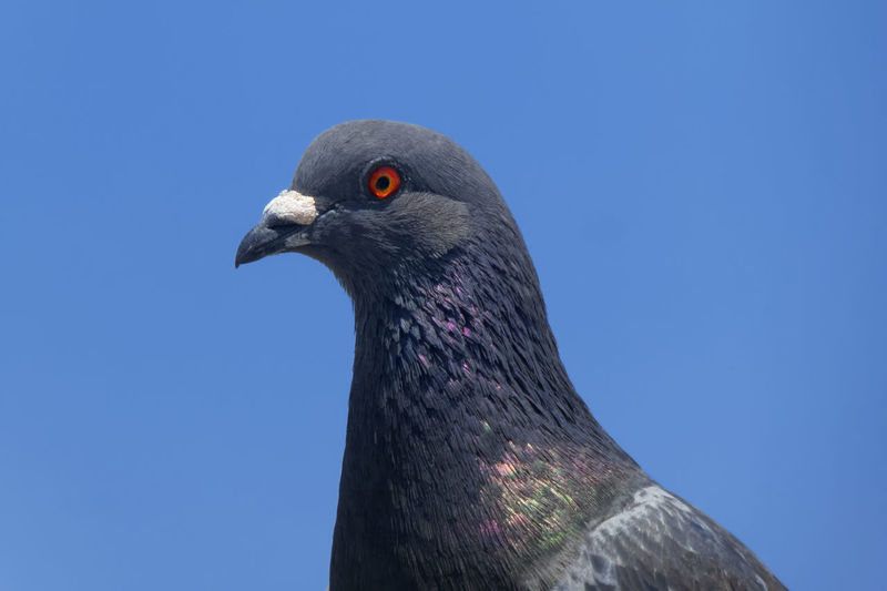 Low angle view of pigeon against clear blue sky