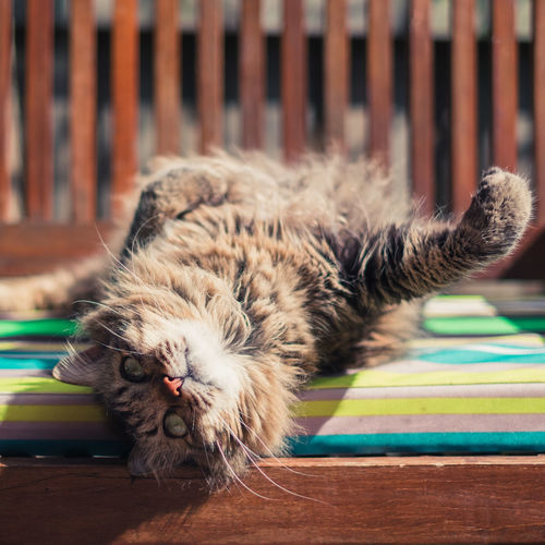 Close-Up Of Maine Coon Cat Lying On Bench