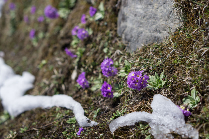 Beauty In Nature Close-up Cold Temperature Day Fragility Freshness Growth Nature No People Outdoors Plant Primulas Snow Winter Yumthang Valley