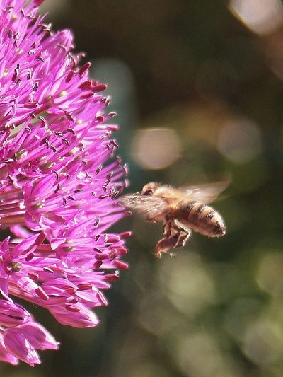 Approach of the bee .. Fotografia Eyeemphotography Blume EyeNatureLover Nature Garten Garden Fotografie Macro Pollination Petal Animal Themes Close-up Plant Honey Bee Bumblebee
