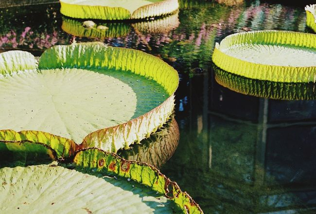 Leaf Lily Pad Blooming Lotus Pond Water Plant Standing Water Growing