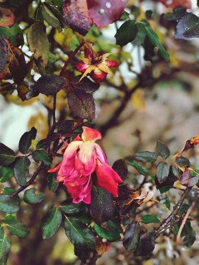 Dead rose on rose bush Flower Growth Nature Fragility Beauty In Nature Petal No People Freshness Leaf Plant Day Outdoors Flower Head One Animal Close-up Blooming Dead Roses Dead Rose Rose Bush Branch Tree