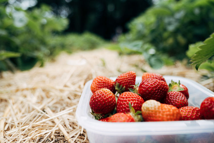 STRAWBERRY FIELDS Food And Drink Agriculture Close Up Food Freshness Fruit Healthy Eating Healthy Food Healthy Lifestyle Nature Outdoors Red Rural Rural Scene Strawberry Vegetable The Foodie - 2019 EyeEm Awards Berry Fruit Wellbeing No People Day Land Plant Field Focus On Foreground Close-up Container Organic Ripe