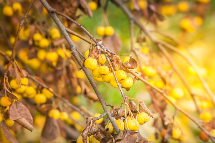 Autumn, Fruit Tree, Naturally Warm, Sunlight Autumn Autumn colors Sunlight Apple Tree Close-up Day Focus On Foreground Food Fruit Fruit Tree Nature No People Outdoors Plant Plant Part Tree Wellbeing Yellow
