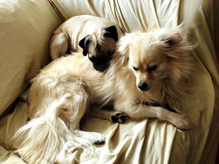 Puppy love Pug