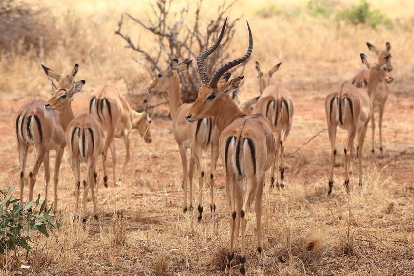 impala's in Tsavo West NP, Kenya Africa Animal Themes Animals In The Wild Antilope Arid Climate Gazelles Impala Kenya Large Group Of Animals National Parks Kenya Safari Sunlight Tsavo West Wildlife