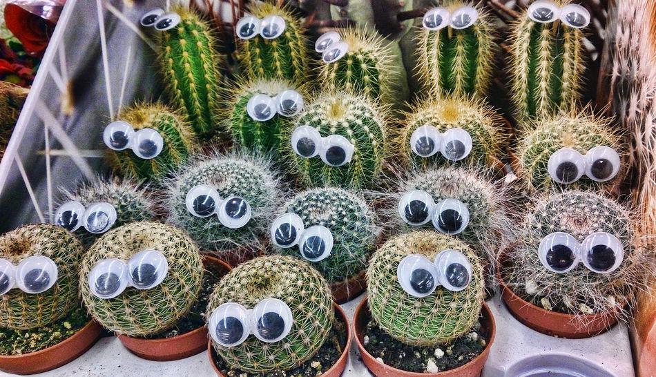 Dangling Cactus Eyes Cactus Friends Cactus Garden Cactus Party Cactusclub Cactusporn Cute Pets EyeEm EyeEm Cactus EyeEm Gallery Check This Out Eyeem Phonephotography EyeEmBestPics EyeeEyeem Collection EyeEm EyeEm Qatar Eyeem Philippines Eyeem Photography