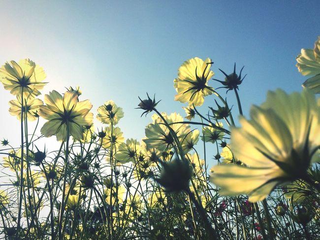 Taking Photos Enjoying Life Autumn Sky Picking Flowers  Cosmos