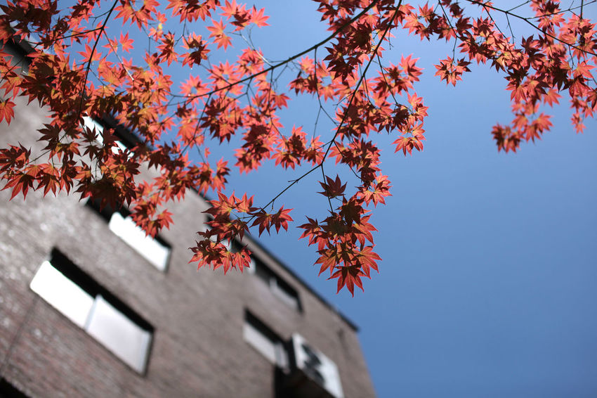 Autumn Color Built Structure Architecture Autumn Building Exterior Sky Low Angle View Tree Plant Nature Branch Change Day Building Clear Sky Growth Beauty In Nature No People Blue Outdoors Orange Color Maple Leaf Autumn Collection Autumn