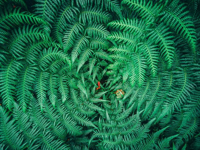 Circle fern