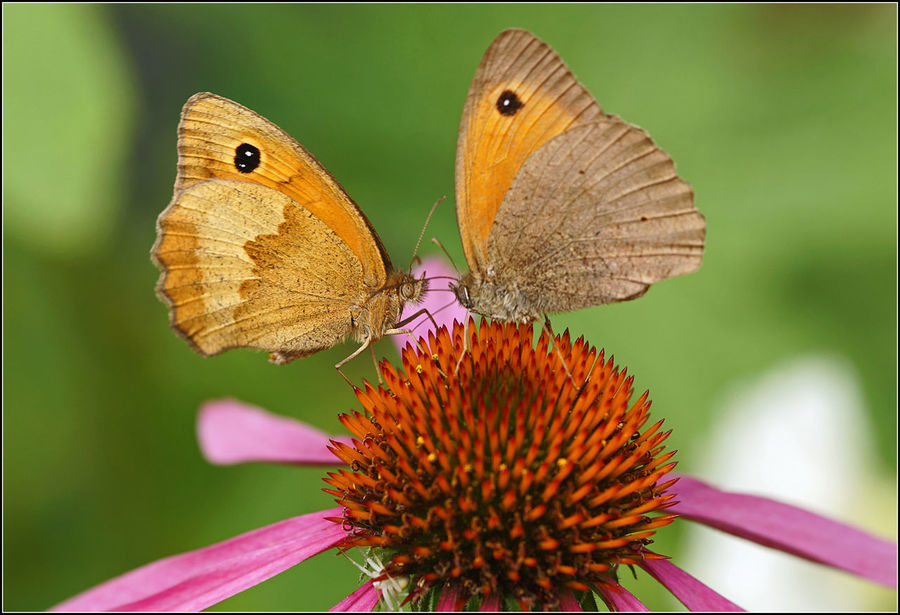 Butterflies in love... Beauty In Nature Butterfly Close-up Flower Fragility In Love Insect Love In Nature Nature Summer Summertime Wildlife