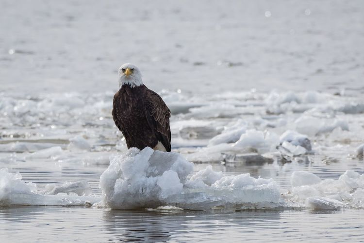 Bald eagle sitting on a iceberg