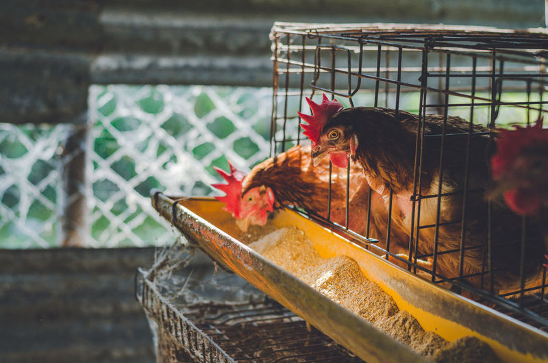 Animal Animal Themes Domestic Mammal Pets Domestic Animals Vertebrate Livestock Chicken - Bird Bird One Animal Cage Chicken Hen Animals In Captivity Farm No People Fence Agriculture Outdoors Industry Farm Cook