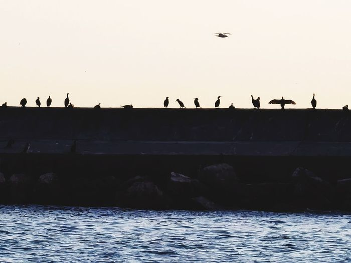 Silhouette birds flying over sea against clear sky