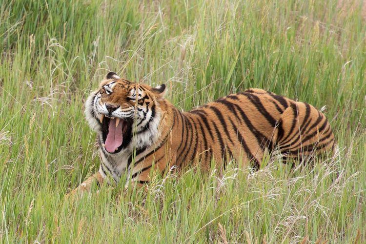 Mammal Feline Animal Themes Animal Big Cat Tiger Cat One Animal Animal Wildlife Grass Nature Green Color Field No People Carnivora