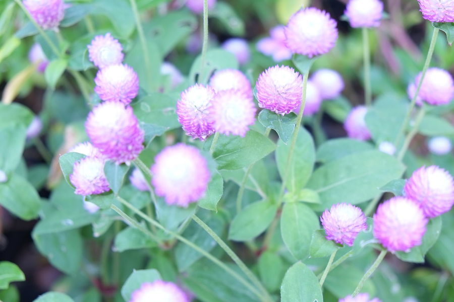 Globe Amaranth flower Bachelor Buttons Flowers,Plants & Garden Globe Amaranth Flower Globe Amaranth Pink Flower 🌸 Beauty In Nature Blooming Day Flower Flower Collection Flower Head Flower Photography Flowerlovers Flowerporn Flowers Flowers, Nature And Beauty Flowers_collection Fragility Freshness Growth Leaf Nature Outdoors Plant Purple