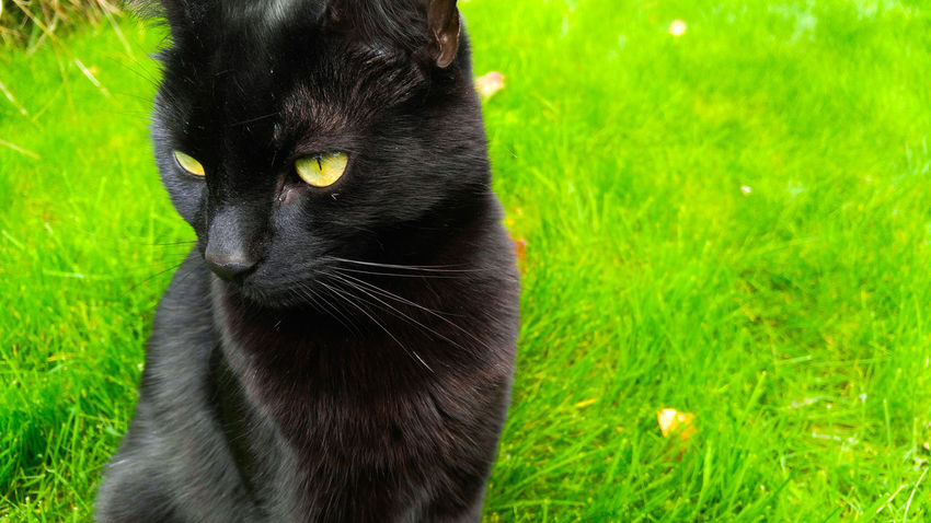 Black cat with green eyes that merge perfectly with the green grass behind. He looks distant and content. The black and green contrast eachother and so the cat is beautifully focused. Sunlight Tranquil Scene Freshness Lush - Description Day Beauty In Nature Outdoors Nature No People Green Color Field One Animal Pets Grass Animal Themes