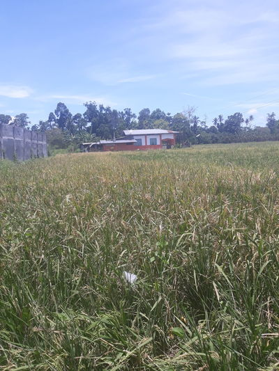 ricefield Ricefield View Rural Scene Agriculture Cereal Plant Field Farm Sky Landscape Plantation Harvesting Organic Farm