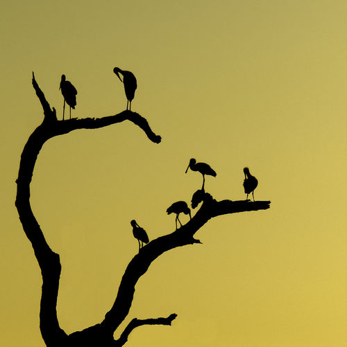 Africa African Evening Against The Light Against The Sky Animal Themes Animal Wildlife Animals In The Wild Beauty In Nature Bird Branch Clear Sky Day Evening Sky Low Angle View Nature No People Outdoors Silhouette Sky Spoonbills And Storks Spoonbills In Natural Setting Storks Storks In The Wild Togetherness Tree