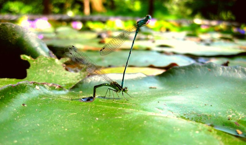 Animal Themes Animals In The Wild Dragonfly Focus On Foreground Beauty In Nature Green Color No People Flying Insect Tranquility Nature Two Is Better Than One TwoIsBetterThanOne Two Is Better Than One.
