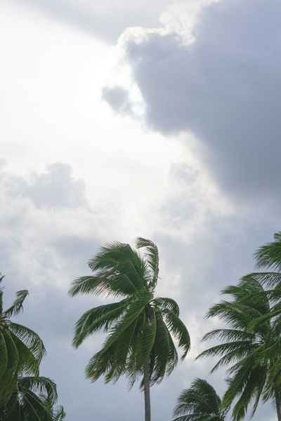 Tree Sky Pinaceae Low Angle View Nature Cloud - Sky Palm Tree No People Outdoors Leaf Growth Treetop Branch Beauty In Nature Day Backgrounds Needle - Plant Part Single Tree Close-up Beach Check This Out Seascape Beach Holiday Landscape Palm