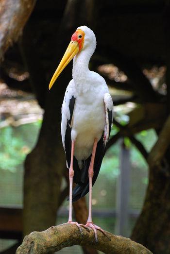 The White Stork