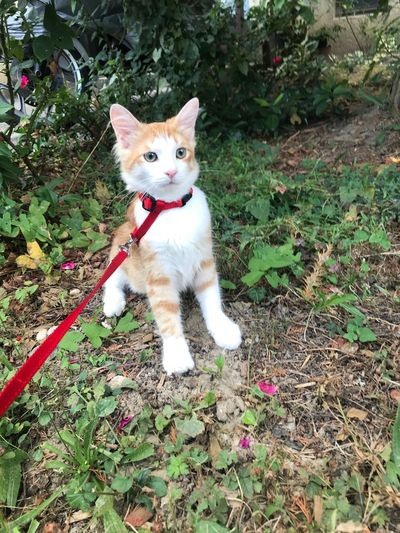 Catwalk Pets Ginger Cat Outdoorsphotography Outdoors Explorer Catwalk One Animal Domestic Pets Animal Themes Domestic Animals Animal Mammal Pet Collar Collar Cat Feline