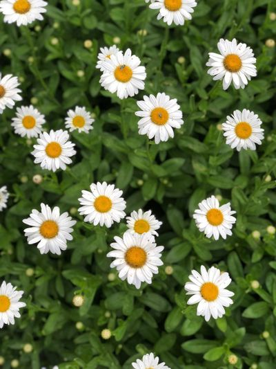 Daisies Dasies Flowering Plant Flower Freshness Plant Fragility Vulnerability  Beauty In Nature