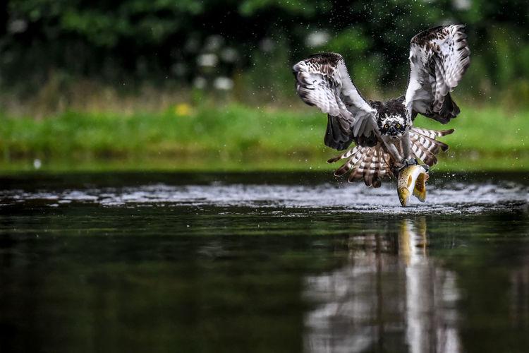 osprey with