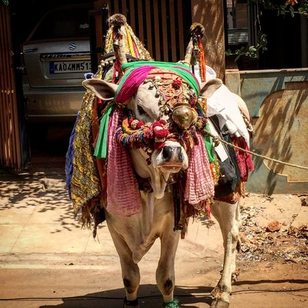 A dressed Bull! Alms Giving Basavanagudi Bull Day Decorated Decorated Animal Indiapictures Outdoors Streetphotography