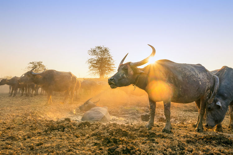 Buffalo Thailand Animal Themes Beauty In Nature Clear Sky Coral Day Domestic Animals Field Landscape Livestock Mammal Nature No People Outdoors Sky Tree