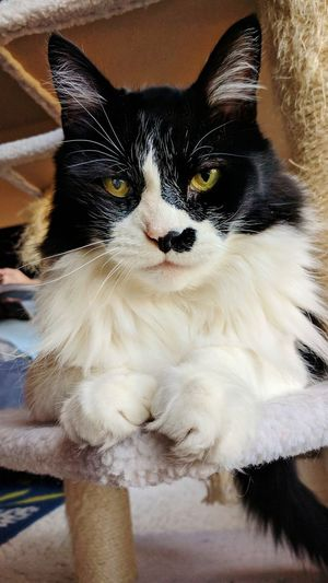 Pets Domestic Cat Domestic Animals Animal Themes One Animal Indoors  Looking At Camera Mammal No People Feline Close-up Portrait Pet Portraits